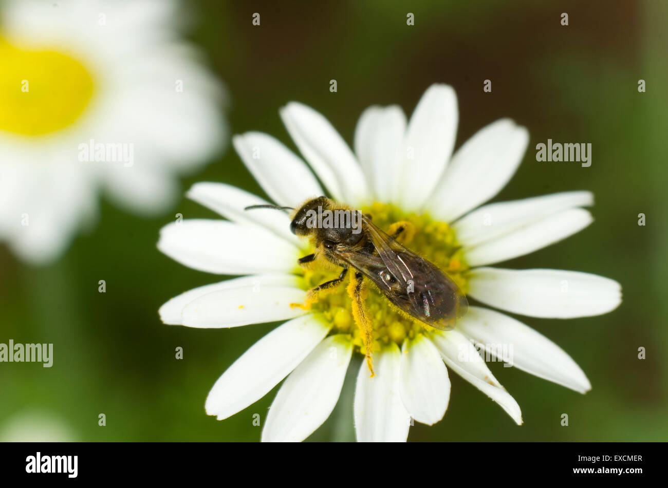 Small sweat bee covered in pollen on a corn chamomile flower - Stock Image