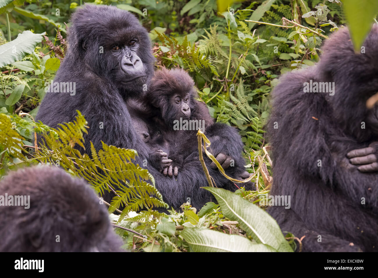 Mother gorilla and baby, Rwanda - Stock Image