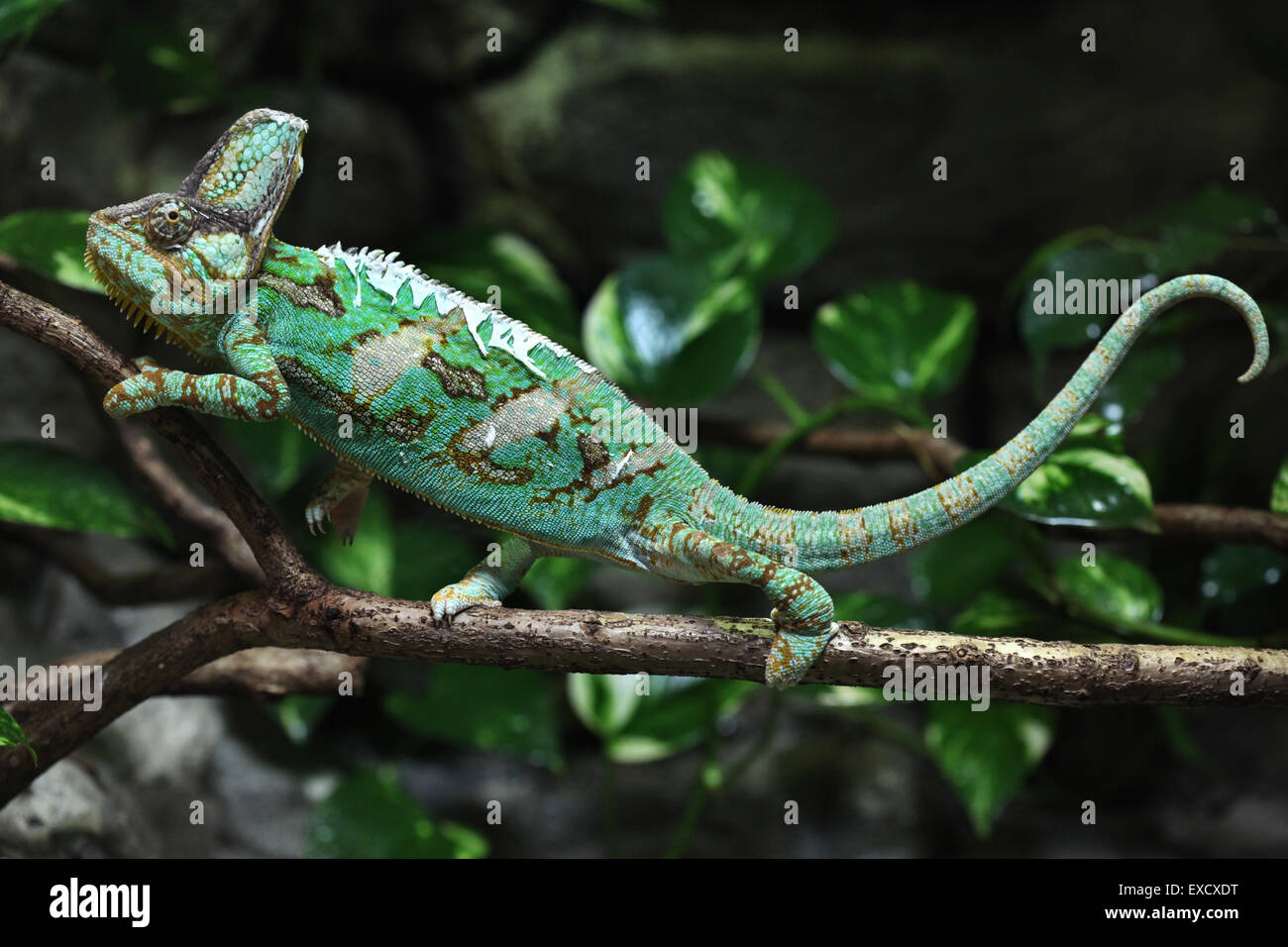 Veiled chameleon (Chamaeleo calyptratus), also known as the Yemen chameleon at Liberec Zoo in North Bohemia, Czech - Stock Image