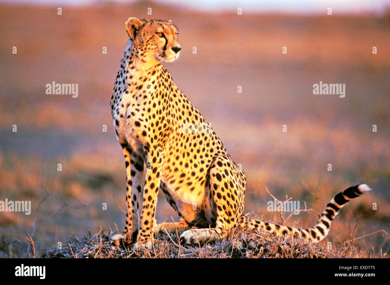 Cheetah sitting in Savannah in late afternoon sunlight - Stock Image