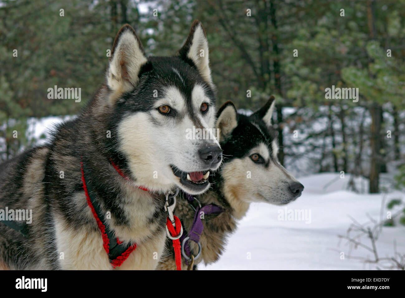 Two Siberian Huskies, lead dogs waiting to pull sleigh Stock Photo