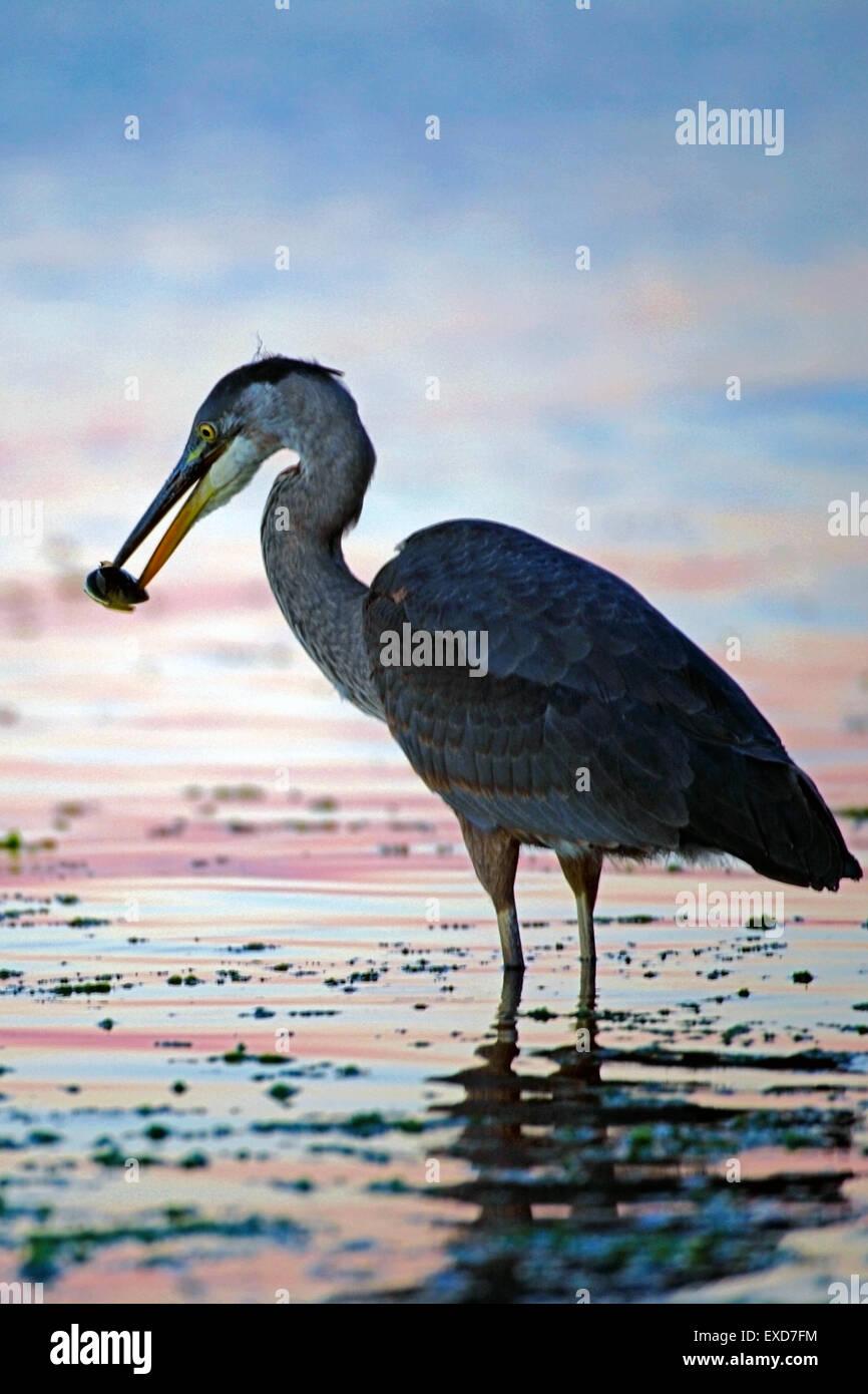 Great Blue Heron hunting fish in tide water ( Ardea herodias ) - Stock Image