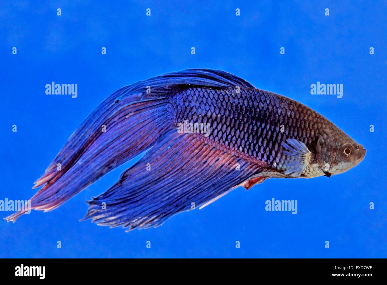 Siamese Fighting fish swimming in glass bowl - Stock Image