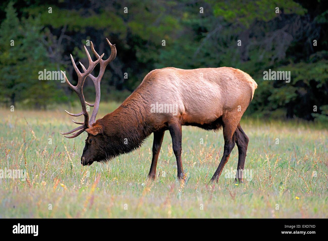 Wapiti Elk, large bull grassing, Rocky Mountains, Canada - Stock Image