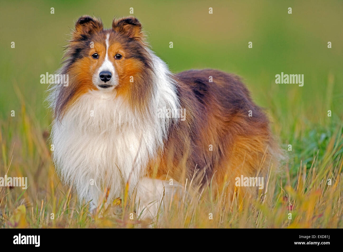 Shetland Sheepdog standing in meadow, autumn - Stock Image