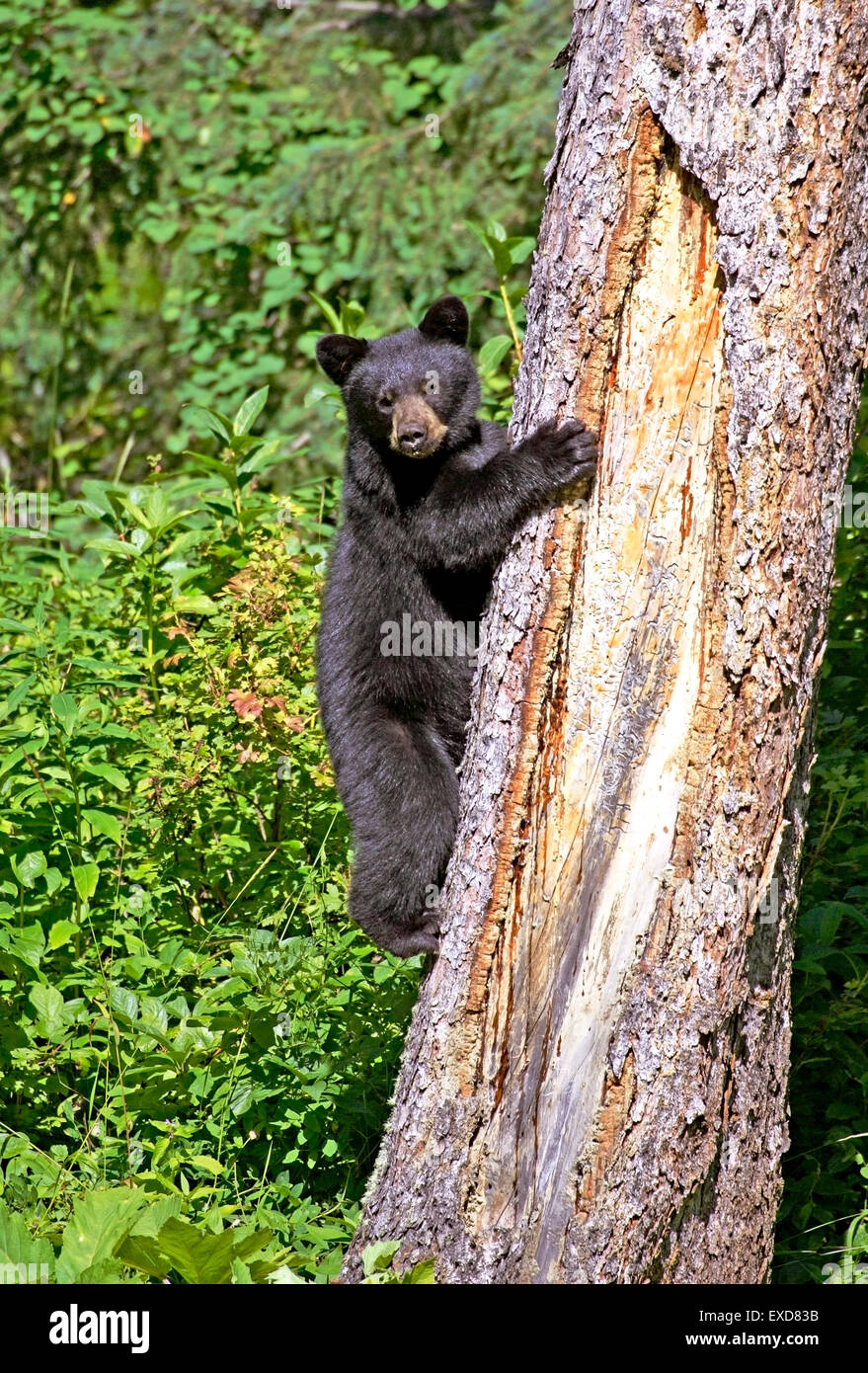 Black Bear Cub 8 months old climbing big spruce tree Stock Photo