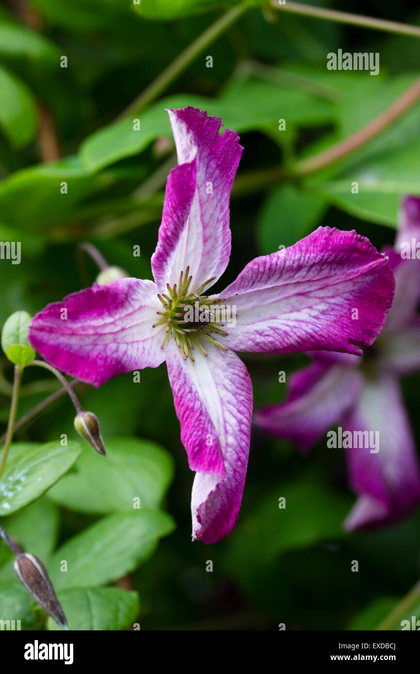 Flower of the hardy, July to September blooming climber, Clematis viticella 'Minuet' - Stock Image