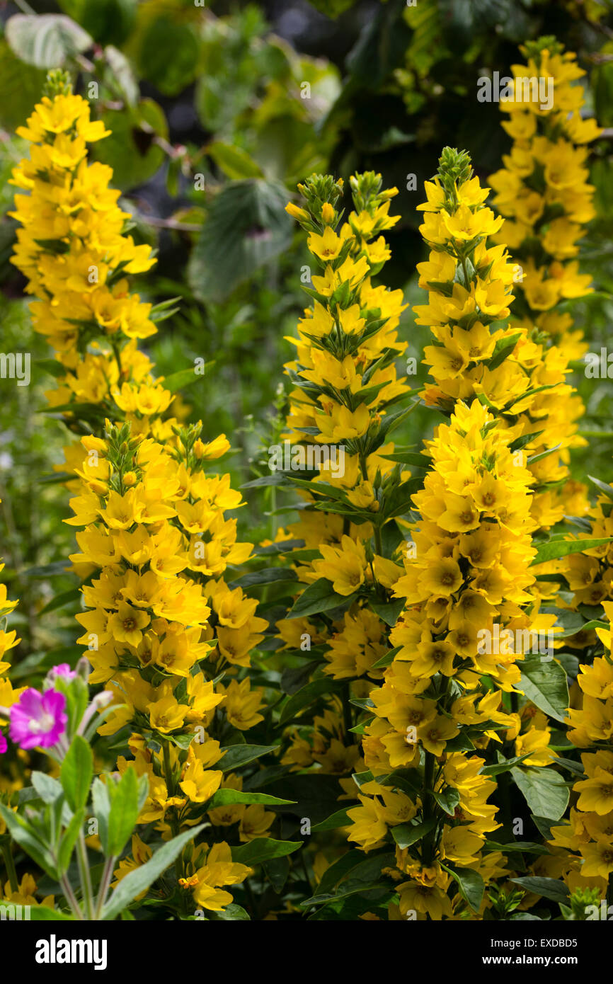 Yellow flowers of the spotted loosestrife, Lysimachia punctata - Stock Image