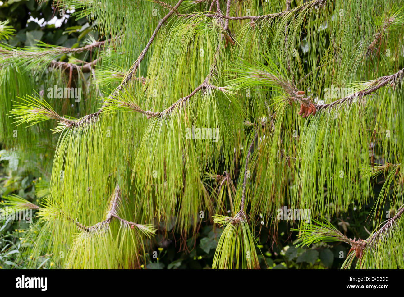 Long, dangling needles of the Mexican weeping pine, Pinus patula - Stock Image