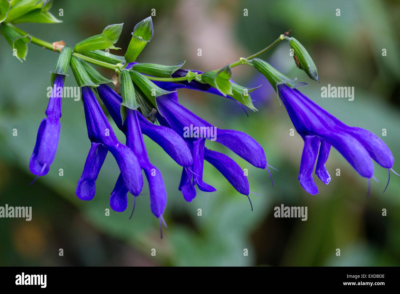 Blue flowers of the summer to autumn blooming perennial sage, Salvia guaranitica 'Blue Enigma' - Stock Image