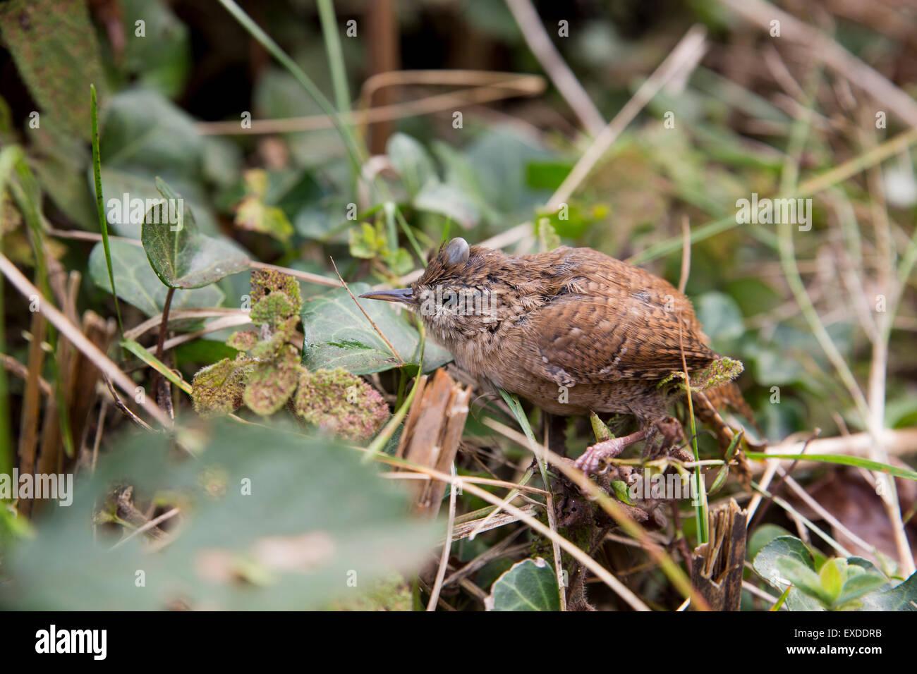 Wren; Troglodytes troglodytes; Single with Tick on Head Isles of Scilly; UK - Stock Image