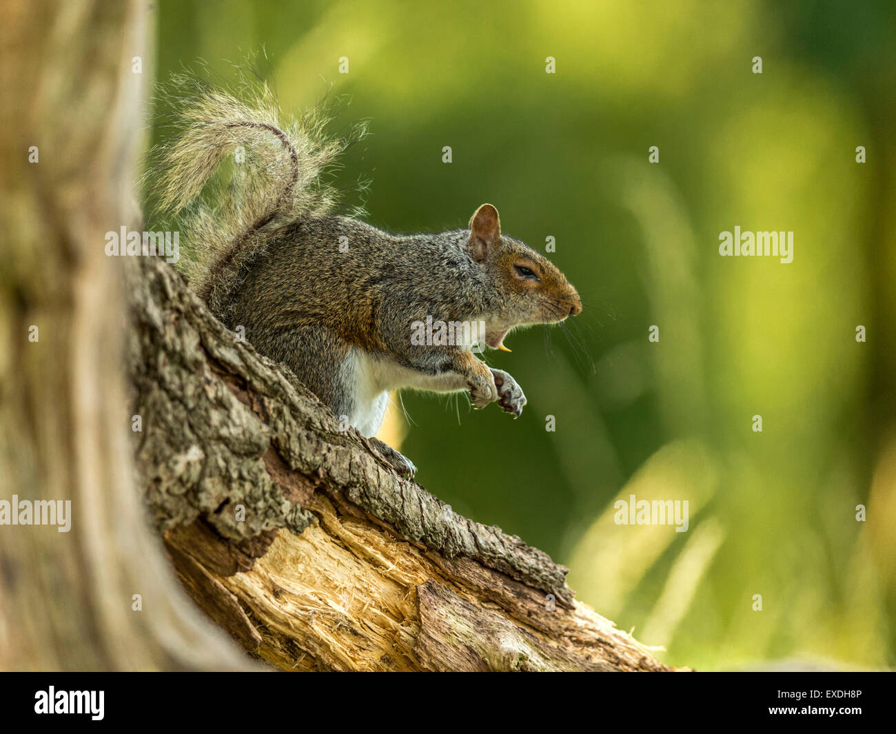 Single Grey Squirrel (Sciurus carolinensis) foraging in natural woodland countryside setting. Yawning, bare teeth, - Stock Image