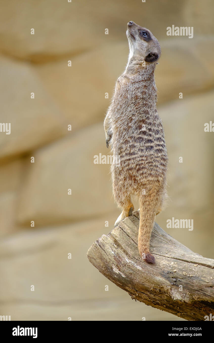 Meerkat Standing Upright - Stock Image