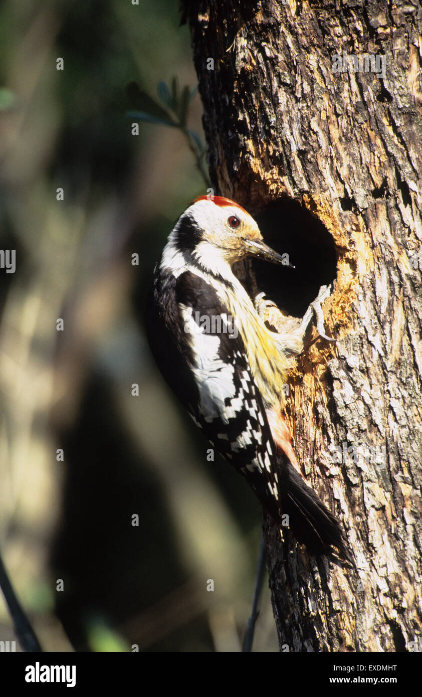 Middle-spotted Woodpecker (Dendrocopos medius) adult at nest hole Lesvos Greece - Stock Image