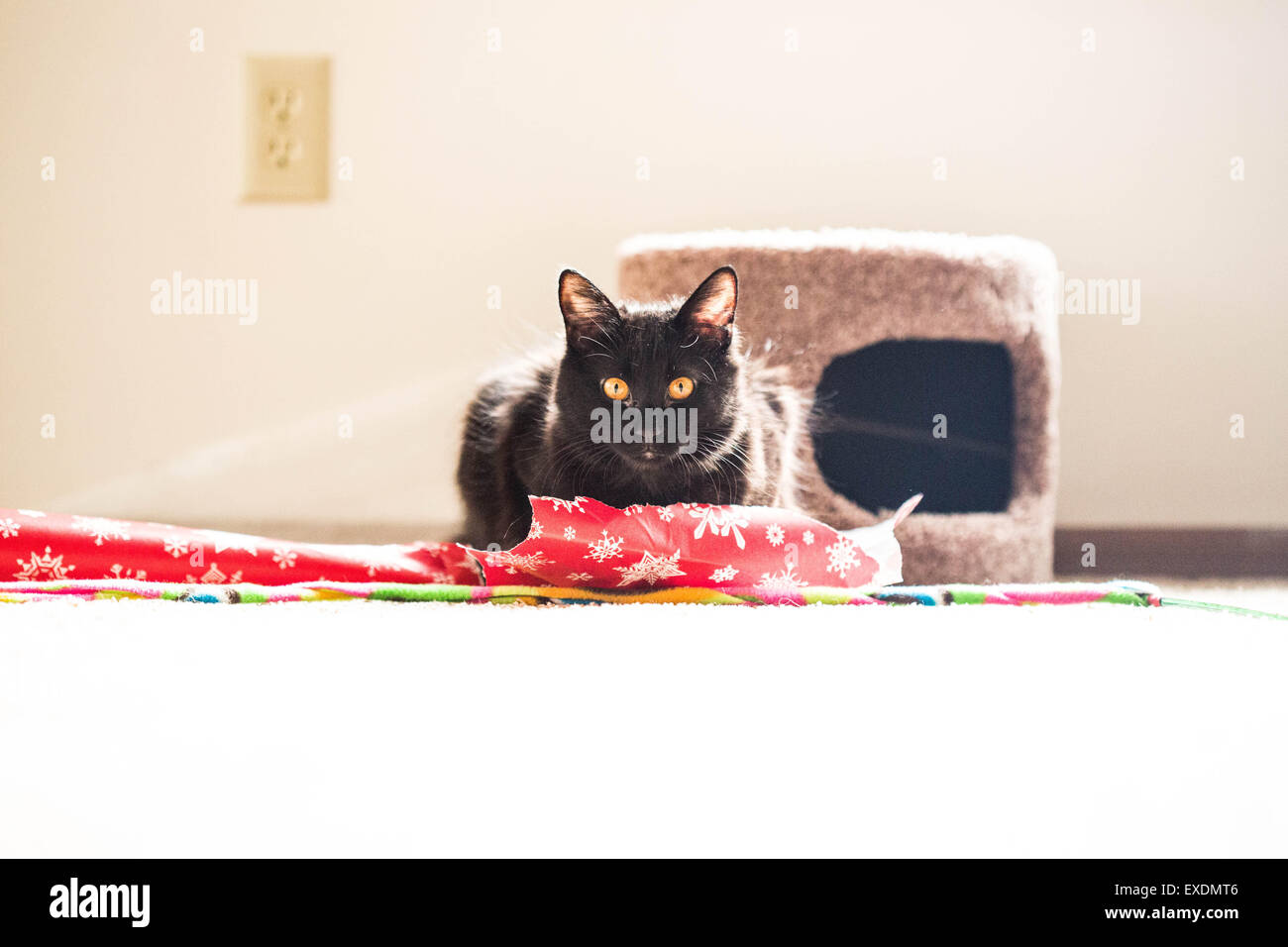 Domestic Longhair Black Cat with Yellow Eyes - Stock Image