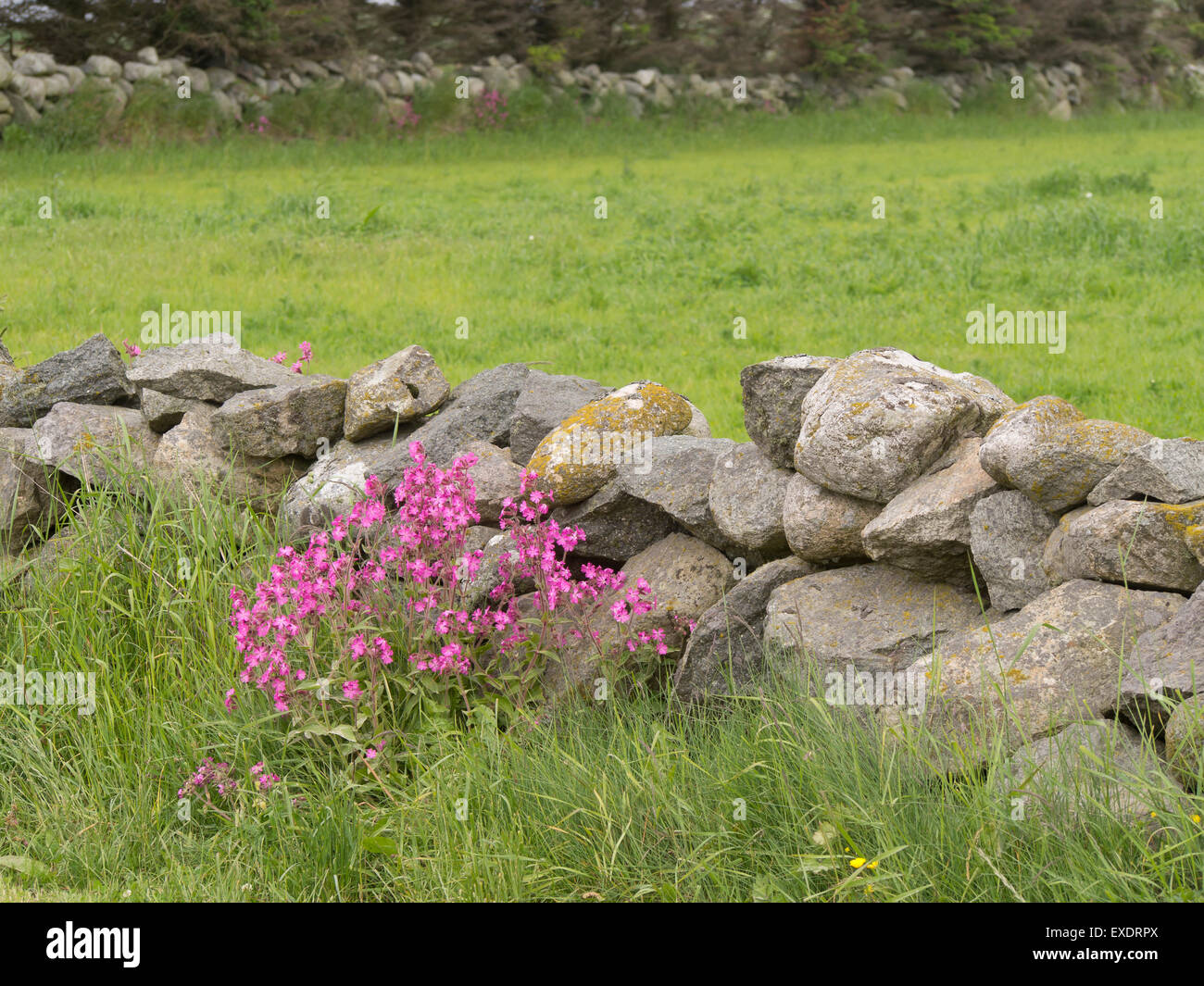 An abundance of stones in their fields make stonewalls the preferred fencing material in the farming district of - Stock Image
