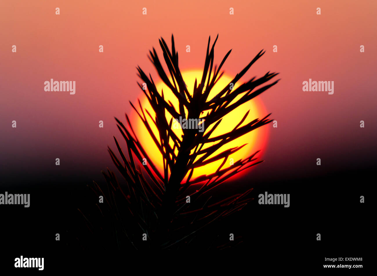 Conifer Branch Sunset - Stock Image