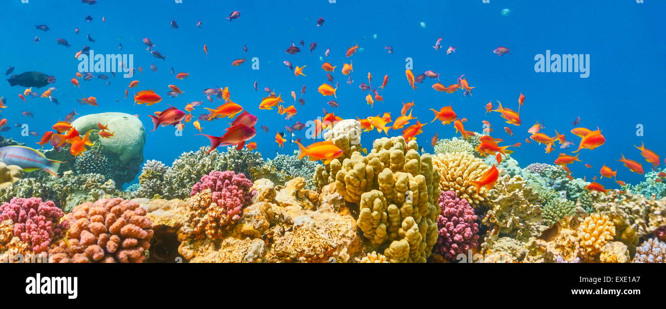 Red Sea, Egypt - underwater view of fishes and the coral reef - Stock Image