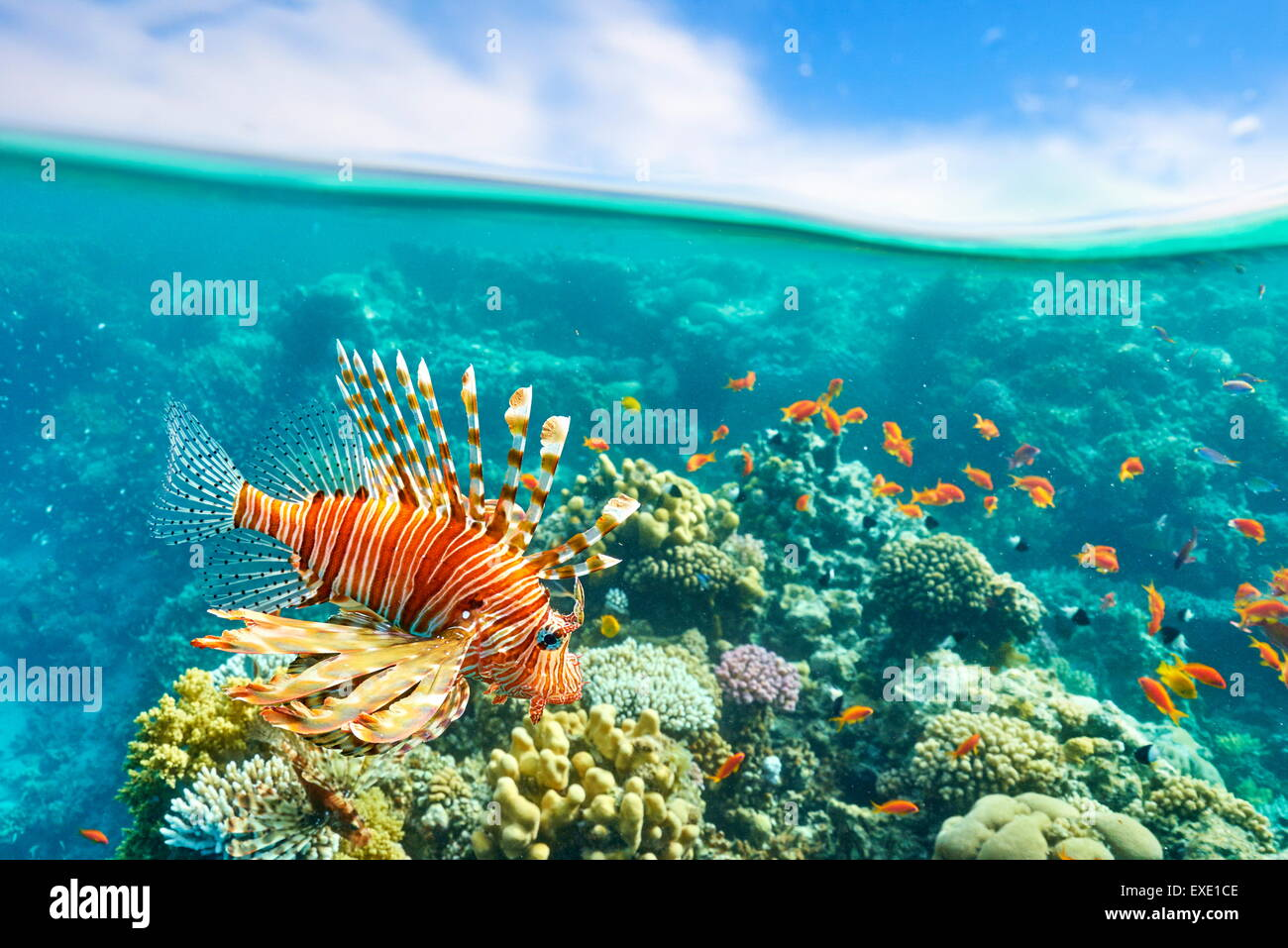 Lionfish over Reef, Pterois volitans, Dahab, Sinai, Red Sea, Egypt - Stock Image