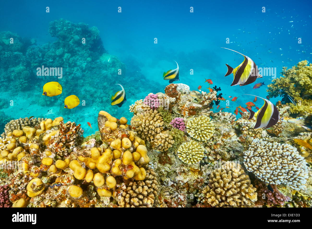 Red Sea - Underwater diving picture of fish over the coral reef, Marsa Alam, Egypt - Stock Image