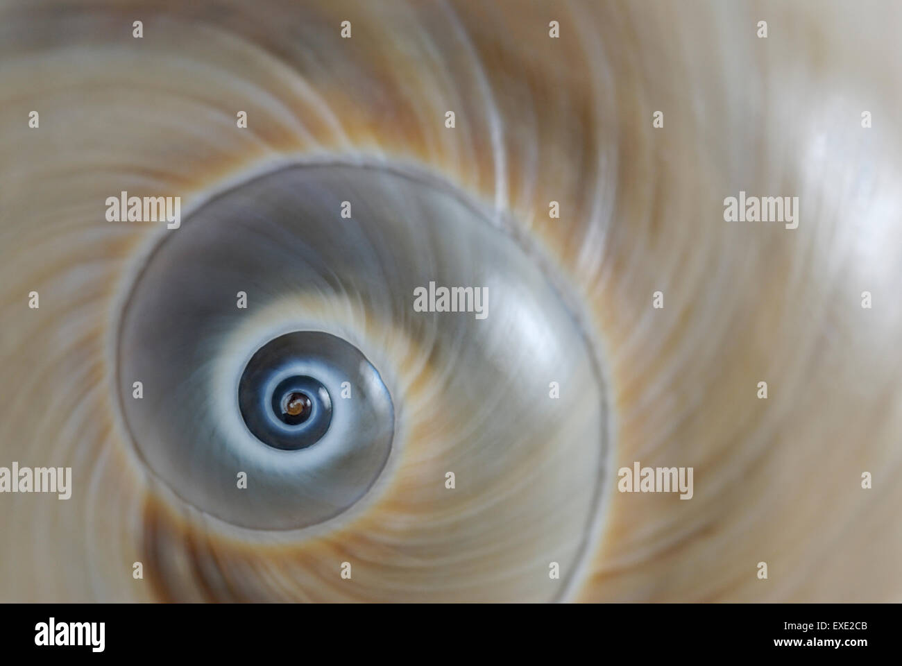 The spiral shell of an Atlantic 'Moon Snail' Neverita duplicata also known as a shark s eye - Stock Image