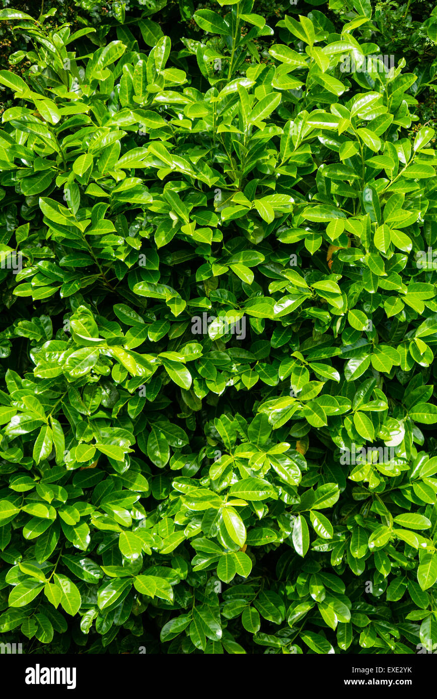 Close up vertical image of a laurel hedge, Prunus laurocerasus - Stock Image