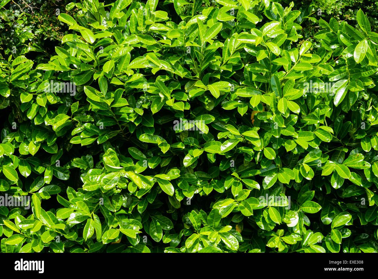 Laurel hedge, prunus laurocerasus - Stock Image