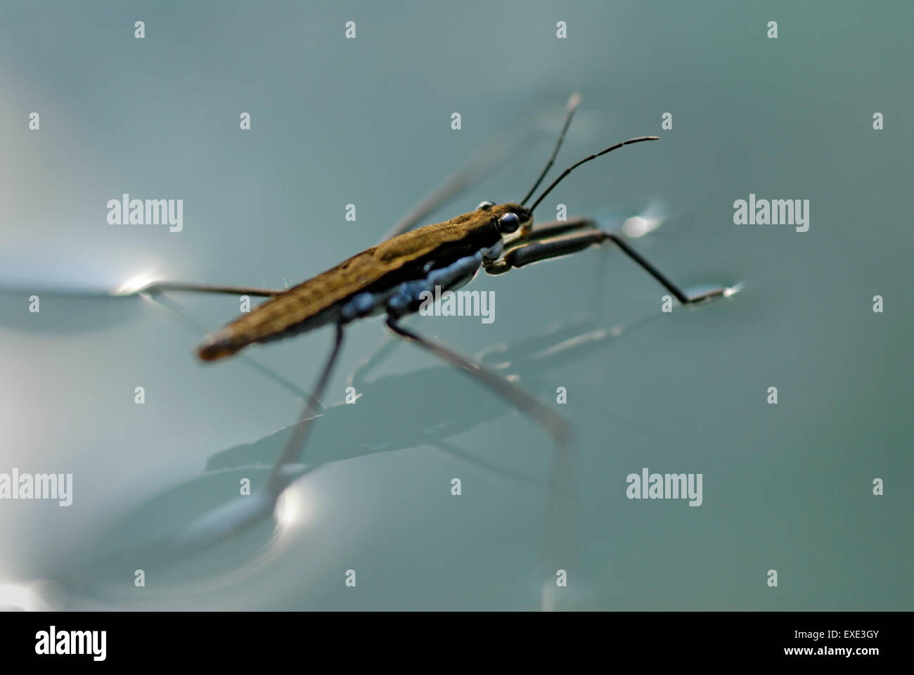 Water strider, Gerris remigis, using surface tension to walk on water - Stock Image