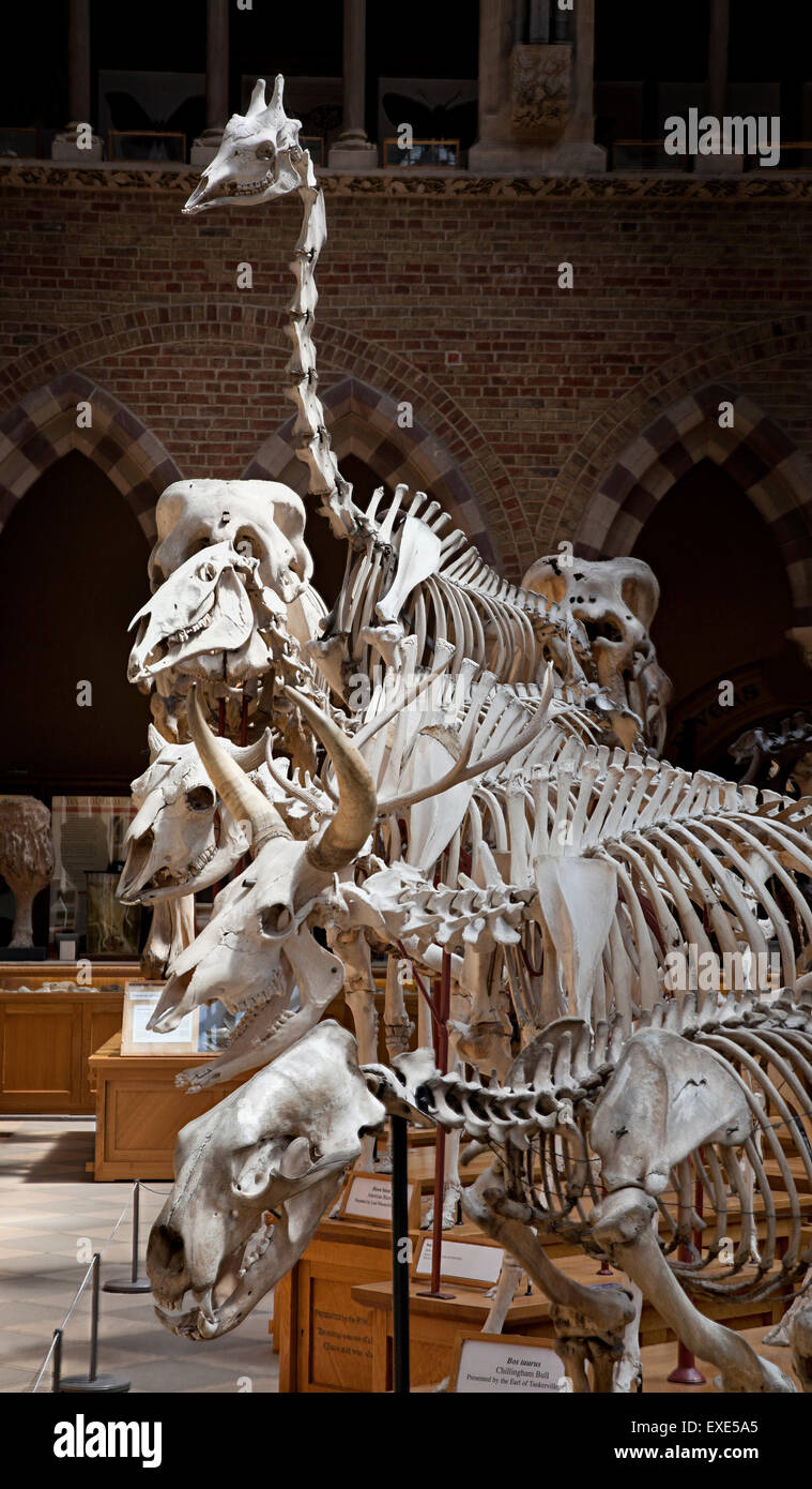 Mammal skeletons on display at the Oxford Museum of Natural History Stock Photo