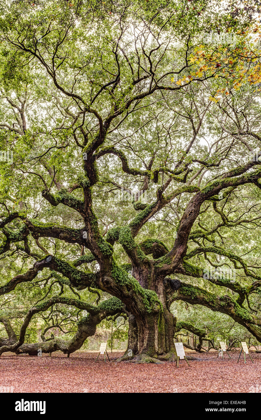 Angel Oak Tree Canopy on Johns Island in South Carolina