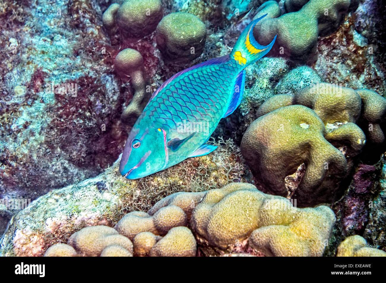 Stoplight ParrotfishCleaning Corals at Sharon's Serenity in Klein Bonaire, Bonaire - Stock Image