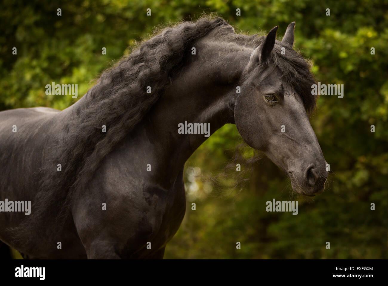 Friesian, stallion, Tyrol, Austria - Stock Image