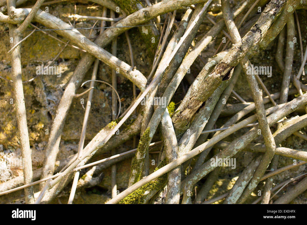 Dead plant roots background grunge texture - Stock Image