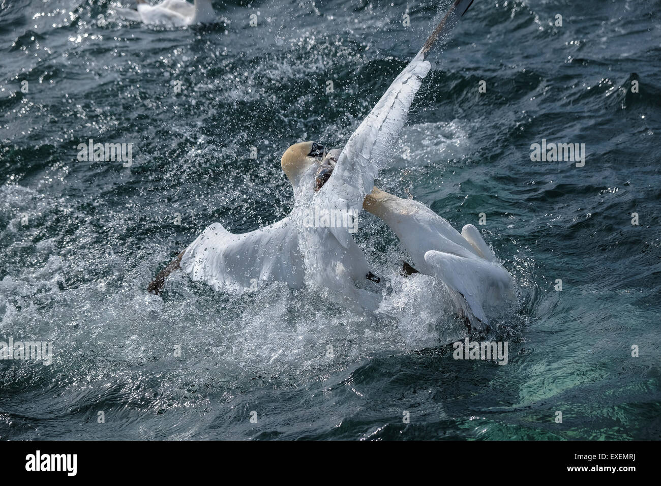 Two northern gannets fight over a fish, splashing the ocean sea surface. - Stock Image