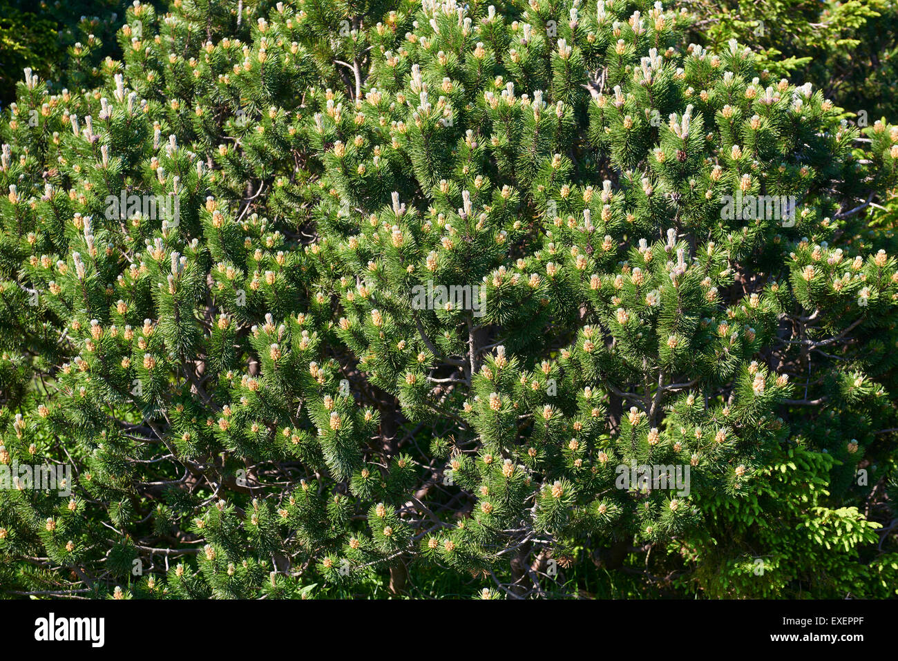 Pumilio mountain pine: planting and care, features of growing and breeding 40