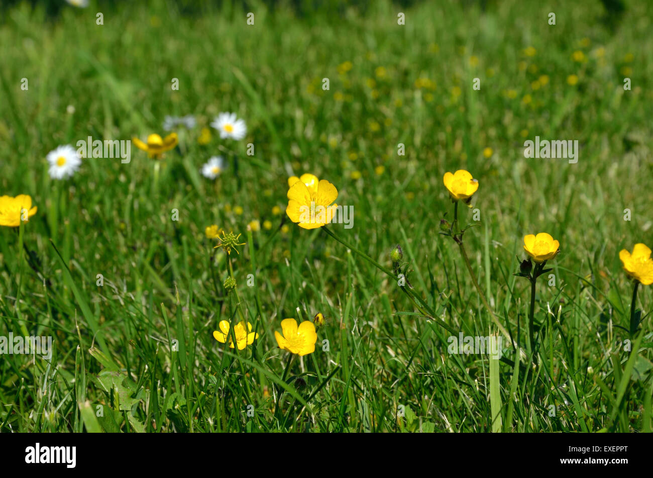 Yellow Wild Mountain Flowers On Green Grass In Spring Time Stock