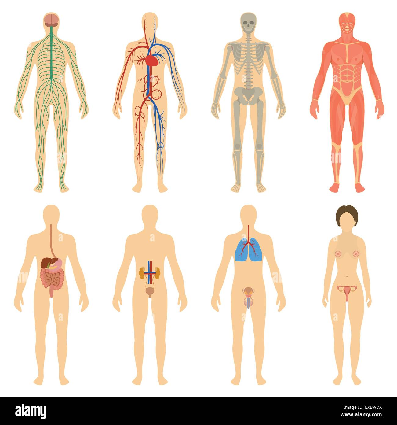 Set Of Human Organs And Systems Of The Body Vitality Nervous Stock