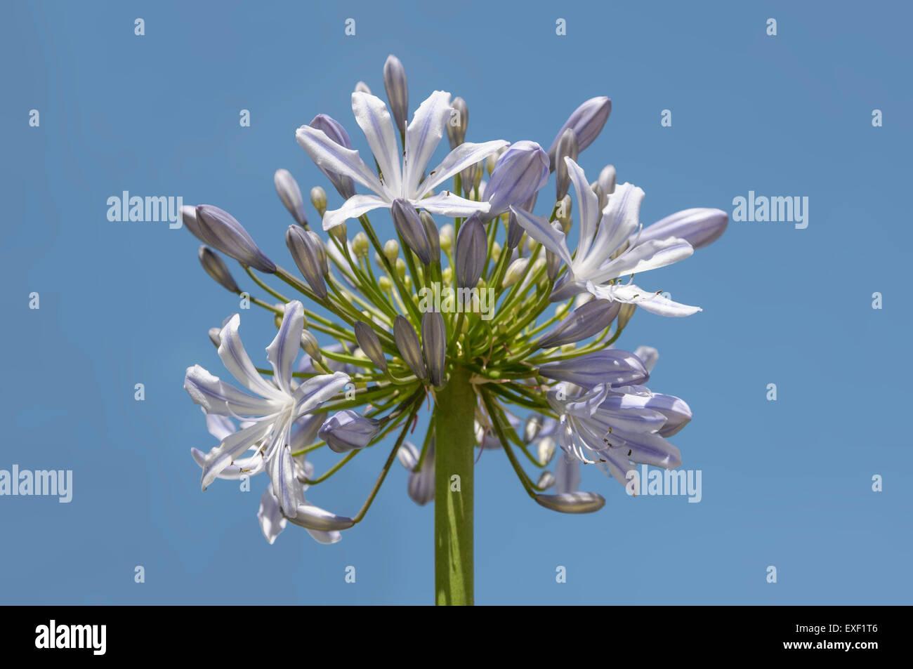 Agapanthus flower set against a blue sky Stock Photo