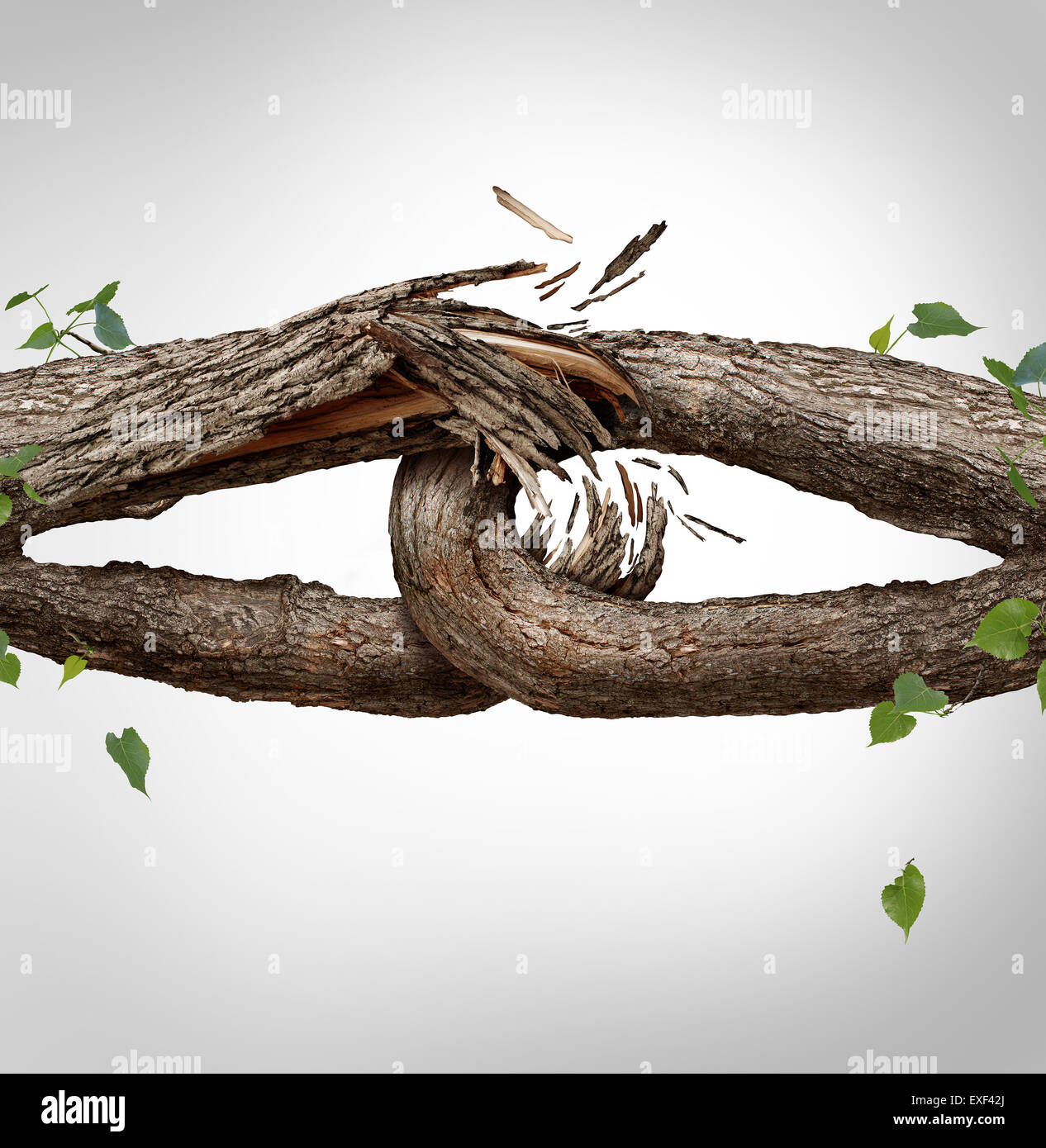 Broken chain concept and disconnected symbol as two different tree trunks tied and linked together as weak fragile,links - Stock Image