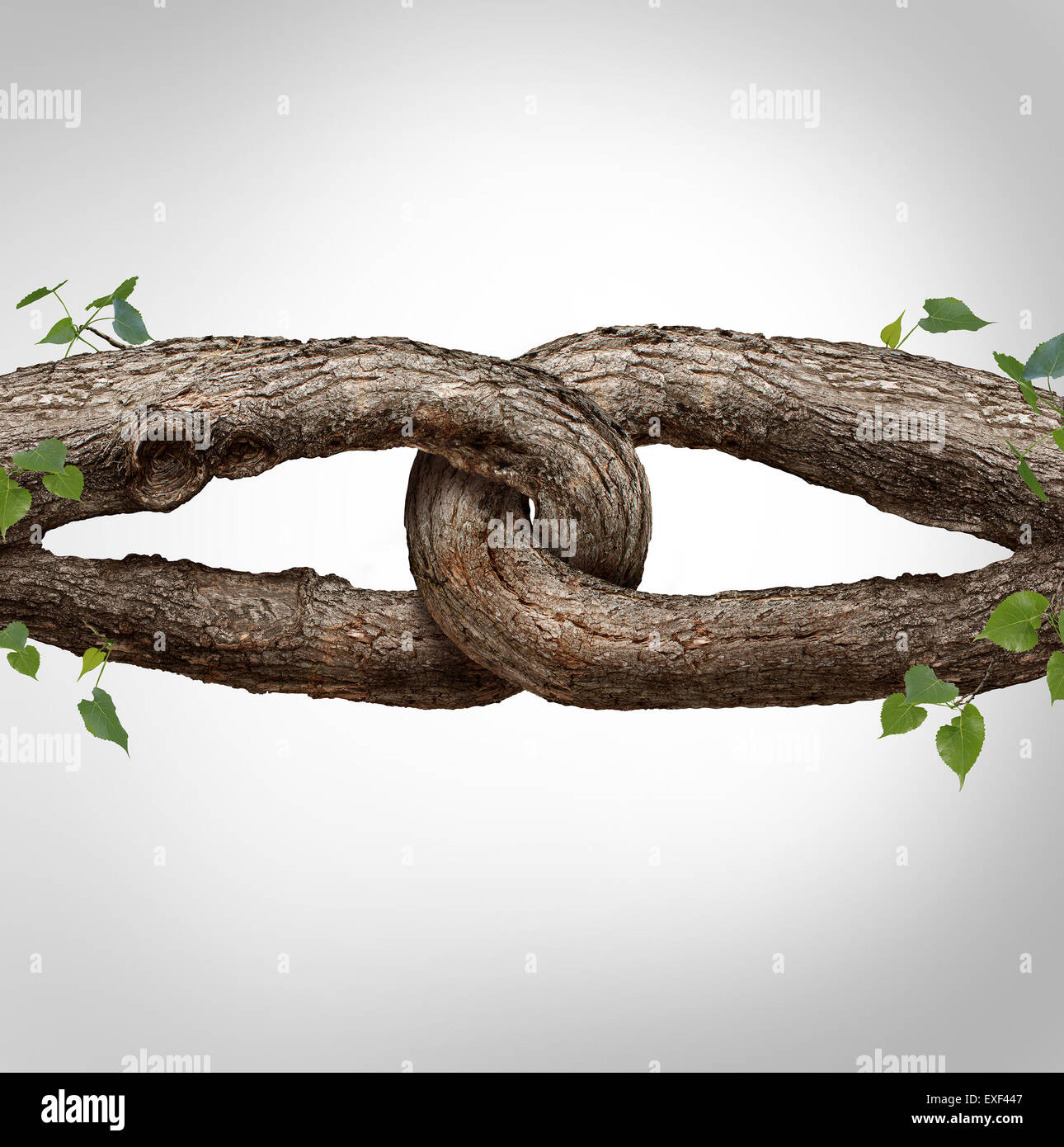 Strong chain concept connected as two different tree trunks tied and linked together as an unbreakable chain as - Stock Image