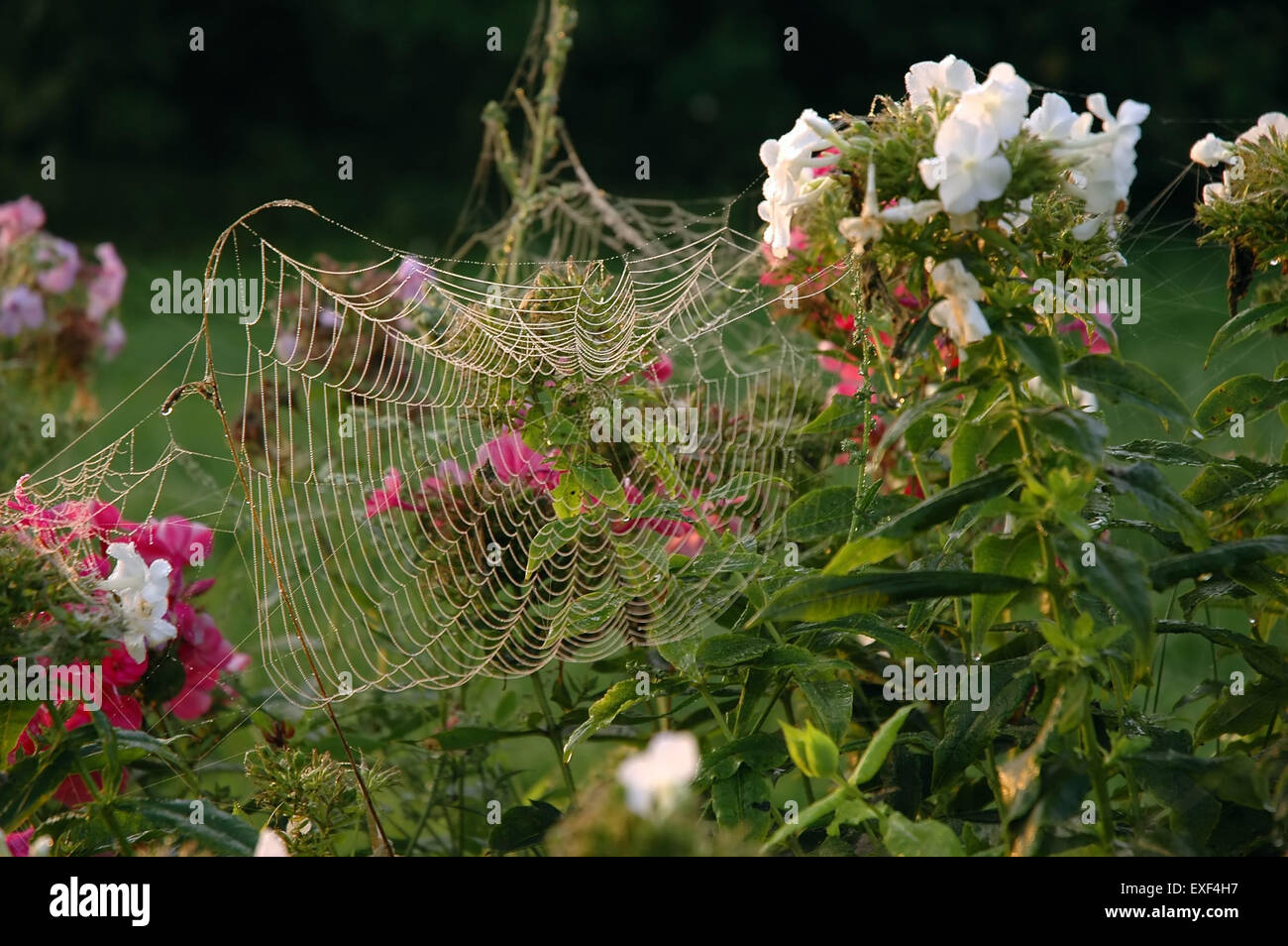 Closeup view of the strings of a cobweb with flowers - Stock Image