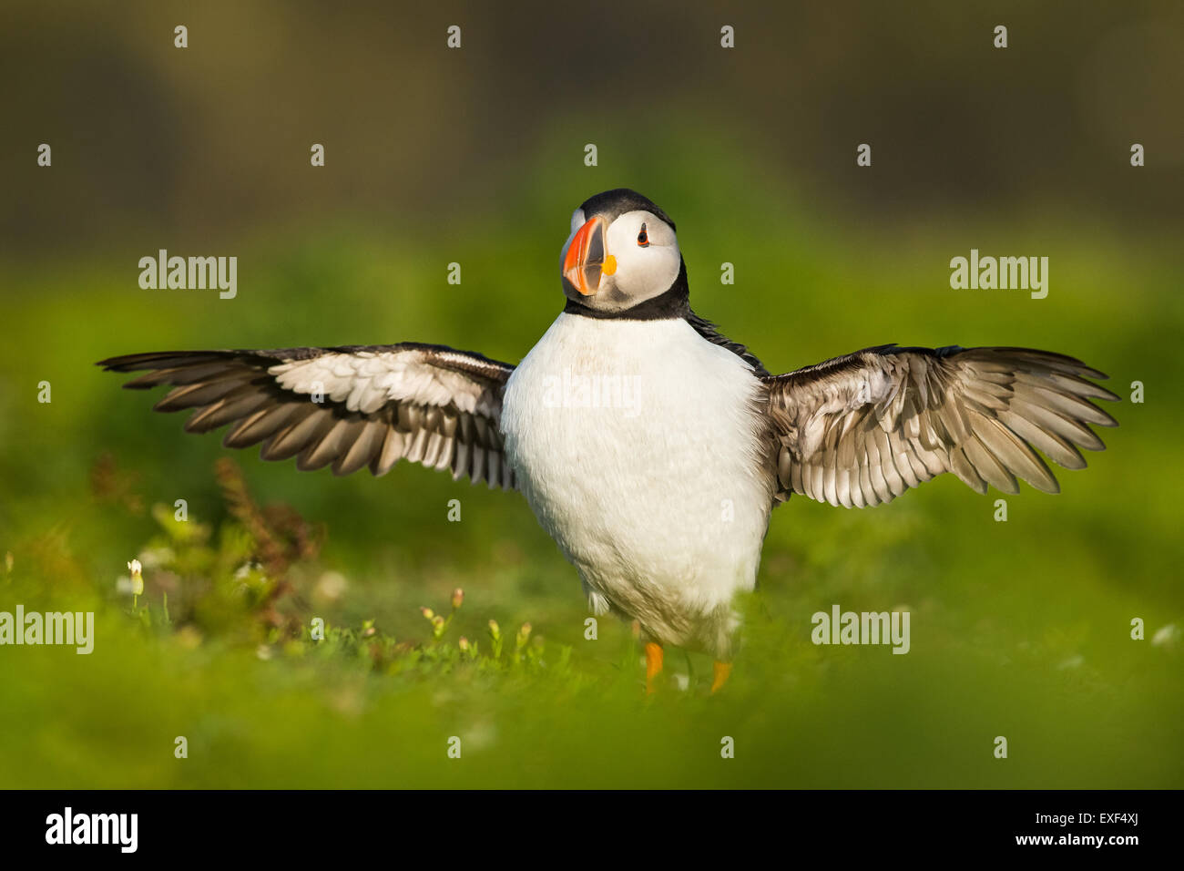 Atlantic Puffin ( Fratercula arctica) with wings spread out on Skomer Island, Pembrokeshire - Stock Image