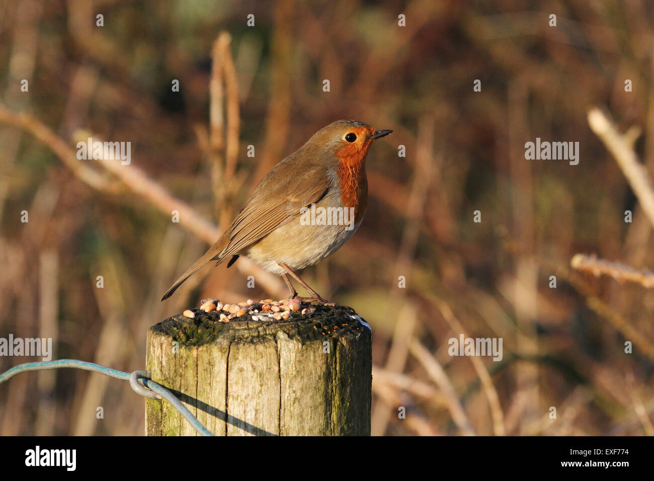 Robin on a fence post - Stock Image