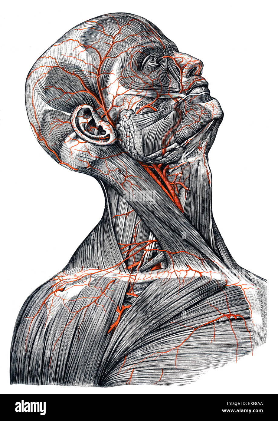 Arteries in the human head, - Stock Image