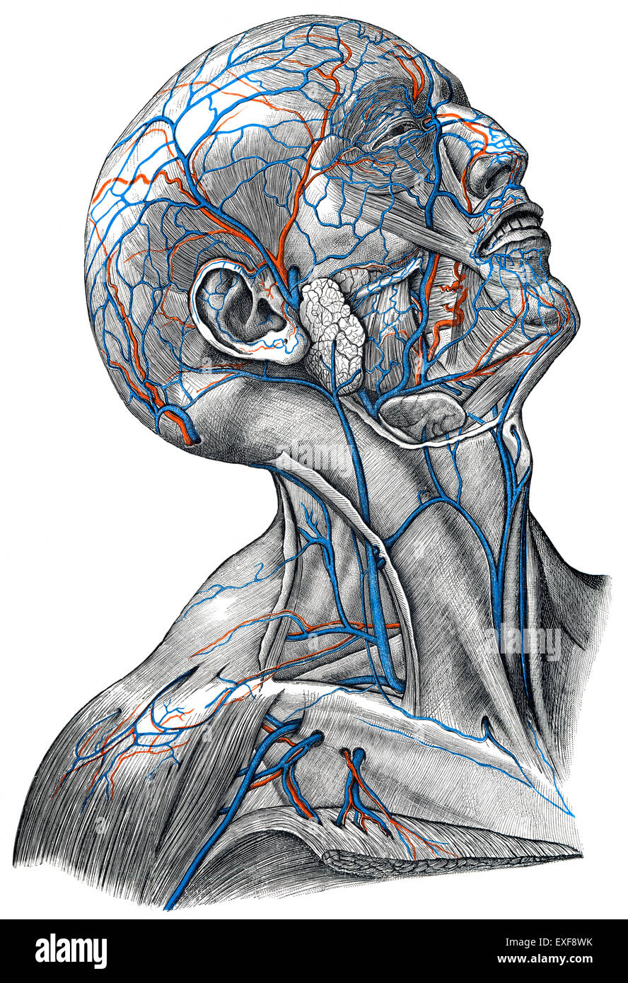 The veins in the head area - Stock Image