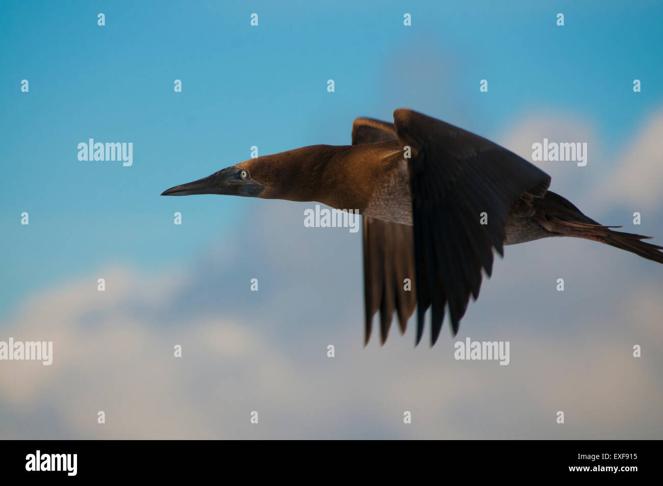 A brown booby (Sula sp.) flying around San Benedicto Island, Revillagigedo, Mexico - Stock Image