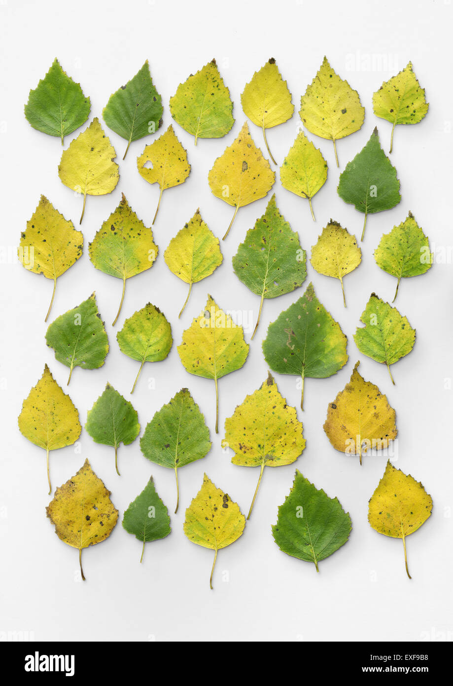 Silver birch leaves - Stock Image