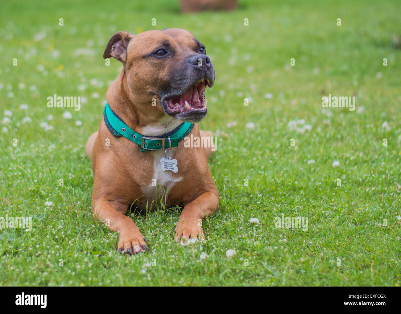 Red Staffordshire Bull Terrier - Stock Image