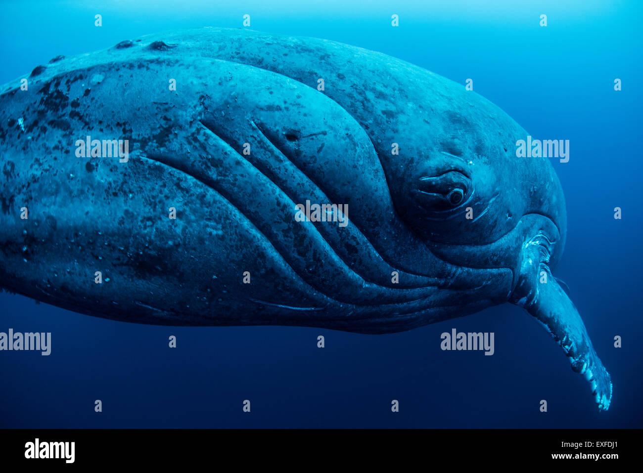 Curious female humpback whale, closeup, Roca Partida, Revillagigedo, Mexico - Stock Image