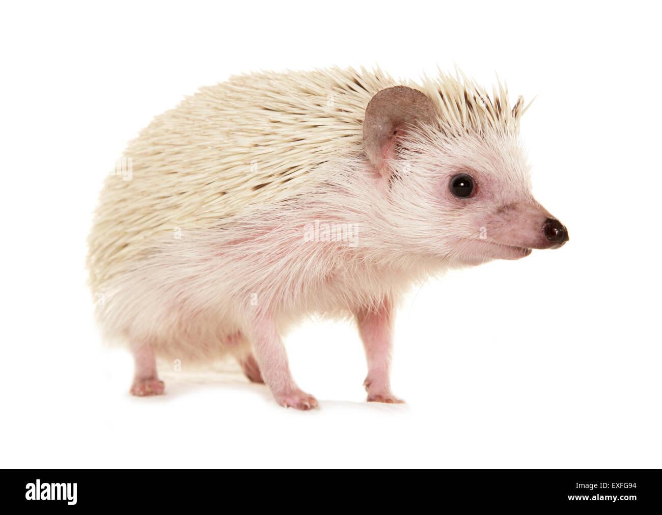 Pygmy hedgehog Atelerix albiventris Profile of single adult in a studio - Stock Image